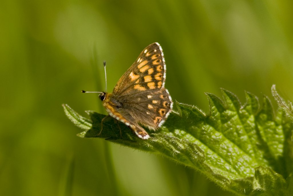 A Duke of Burgundy butterfly [Crown Copyright/MOD]