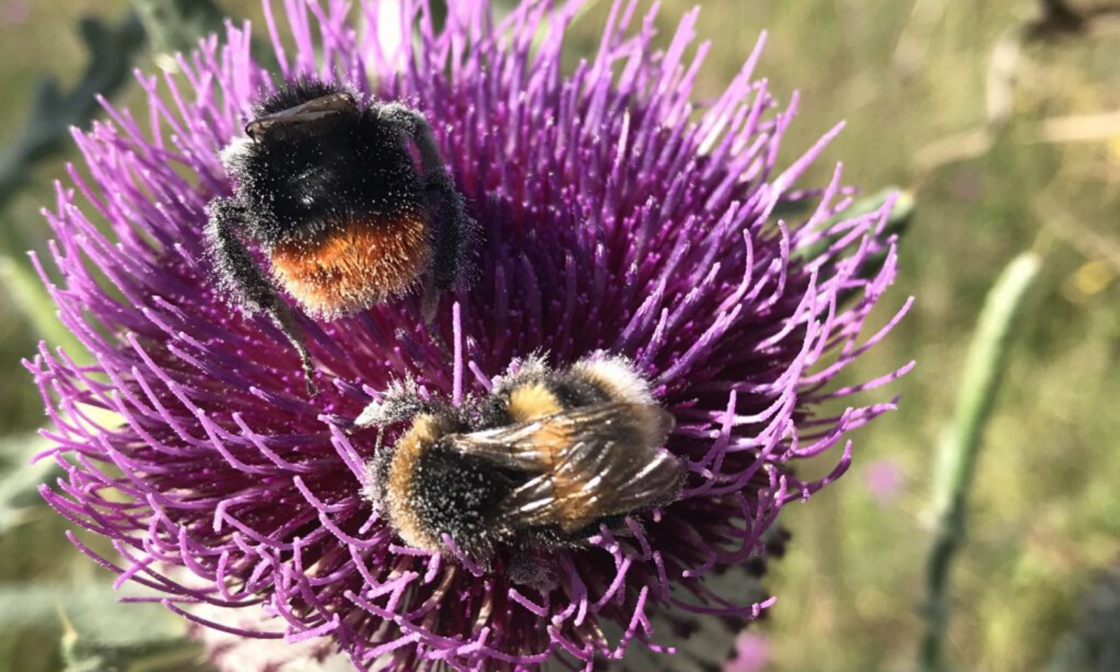 A red tailed bumblebee and buff tailed bumblebee on a woolly thistle on Warminster Danger Area, Salisbury Plain Training Area.