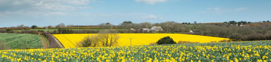 Landscape of fields in bloom with yellow flowers