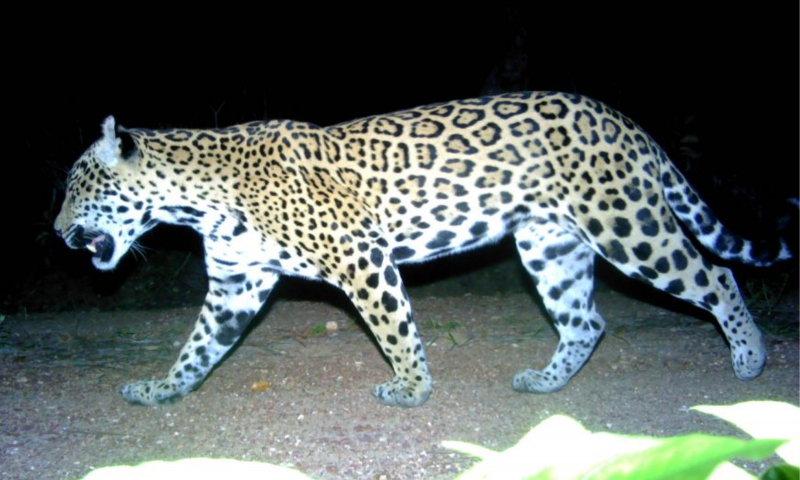 A jaguar recorded by the cameras.